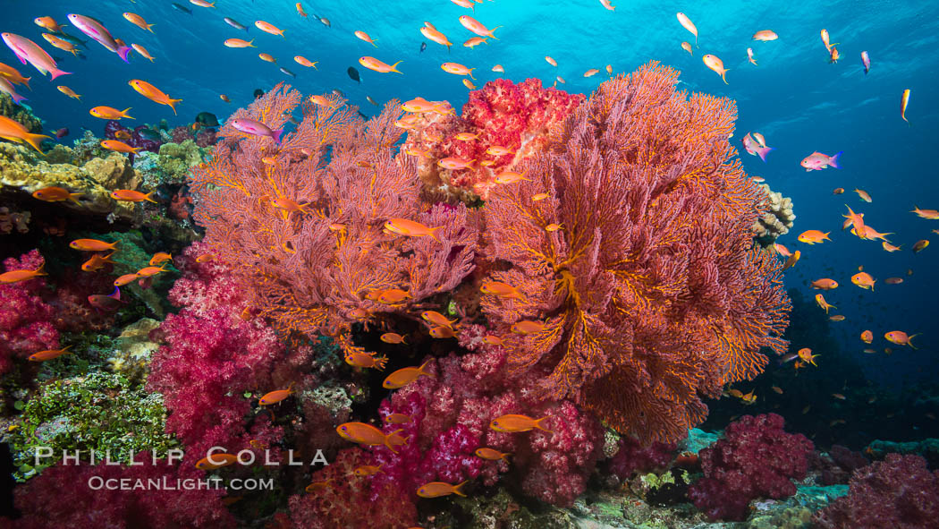 Beautiful South Pacific coral reef, with gorgonian sea fans, schooling anthias fish and colorful dendronephthya soft corals, Fiji. Fiji, Dendronephthya, Pseudanthias, Gorgonacea, natural history stock photograph, photo id 31341