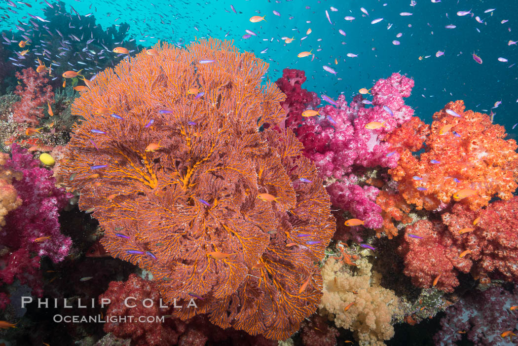 Beautiful South Pacific coral reef, with gorgonian sea fans, schooling anthias fish and colorful dendronephthya soft corals, Fiji. Gau Island, Lomaiviti Archipelago, Fiji, Dendronephthya, Gorgonacea, Pseudanthias, natural history stock photograph, photo id 31381