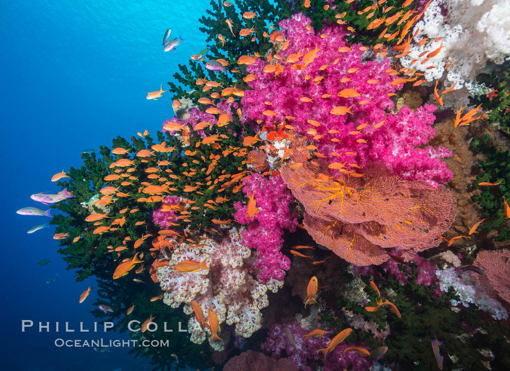 Beautiful South Pacific coral reef, with gorgonian sea fans, schooling anthias fish and colorful dendronephthya soft corals, Fiji., Dendronephthya, Pseudanthias, Gorgonacea, Tubastrea micrantha, natural history stock photograph, photo id 31441