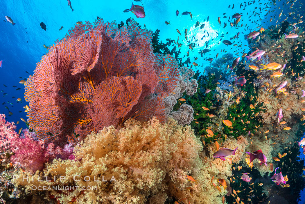 Beautiful South Pacific coral reef, with gorgonian sea fans, schooling anthias fish and colorful dendronephthya soft corals, Fiji. Vatu I Ra Passage, Bligh Waters, Viti Levu  Island, Dendronephthya, Pseudanthias, Gorgonacea, Plexauridae, natural history stock photograph, photo id 31625