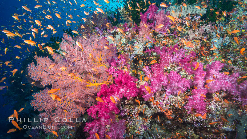 Beautiful South Pacific coral reef, with gorgonian sea fans, schooling anthias fish and colorful dendronephthya soft corals, Fiji. Vatu I Ra Passage, Bligh Waters, Viti Levu  Island, Dendronephthya, Pseudanthias, Gorgonacea, natural history stock photograph, photo id 31661