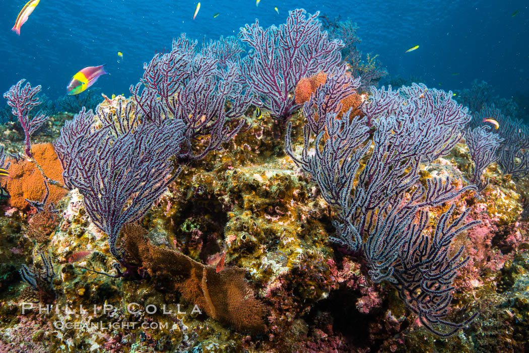 Sea fans and rocky reef, La Reina, Lighthouse Reef, Sea of Cortez. La Reina, Baja California, Mexico, natural history stock photograph, photo id 32482