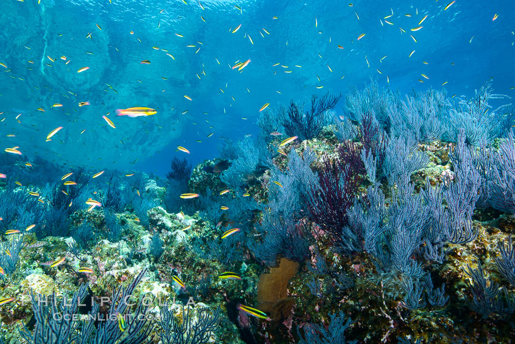 Sea fans and rocky reef, La Reina, Lighthouse Reef, Sea of Cortez. Baja California, Mexico, natural history stock photograph, photo id 32483