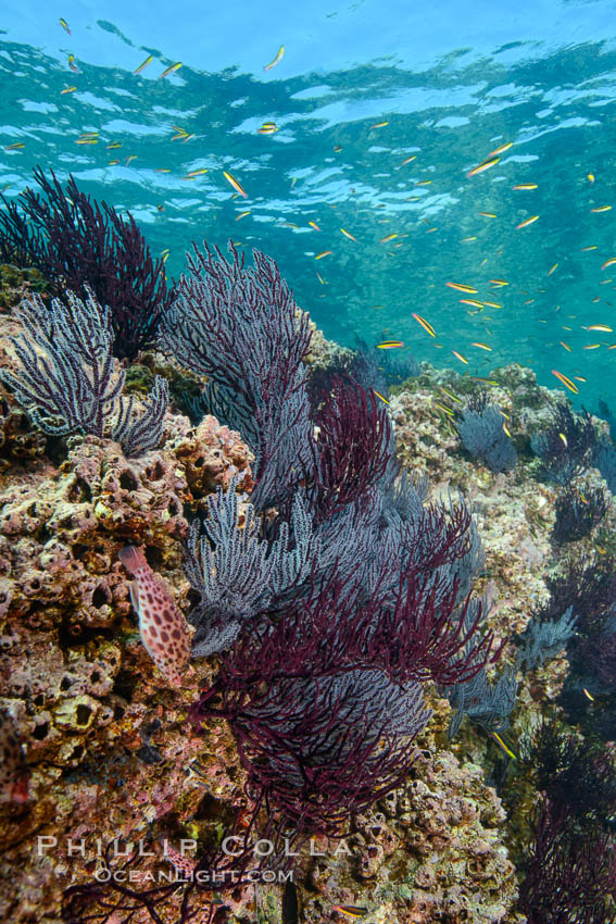 Sea fans and rocky reef, La Reina, Lighthouse Reef, Sea of Cortez. La Reina, Baja California, Mexico, natural history stock photograph, photo id 32485