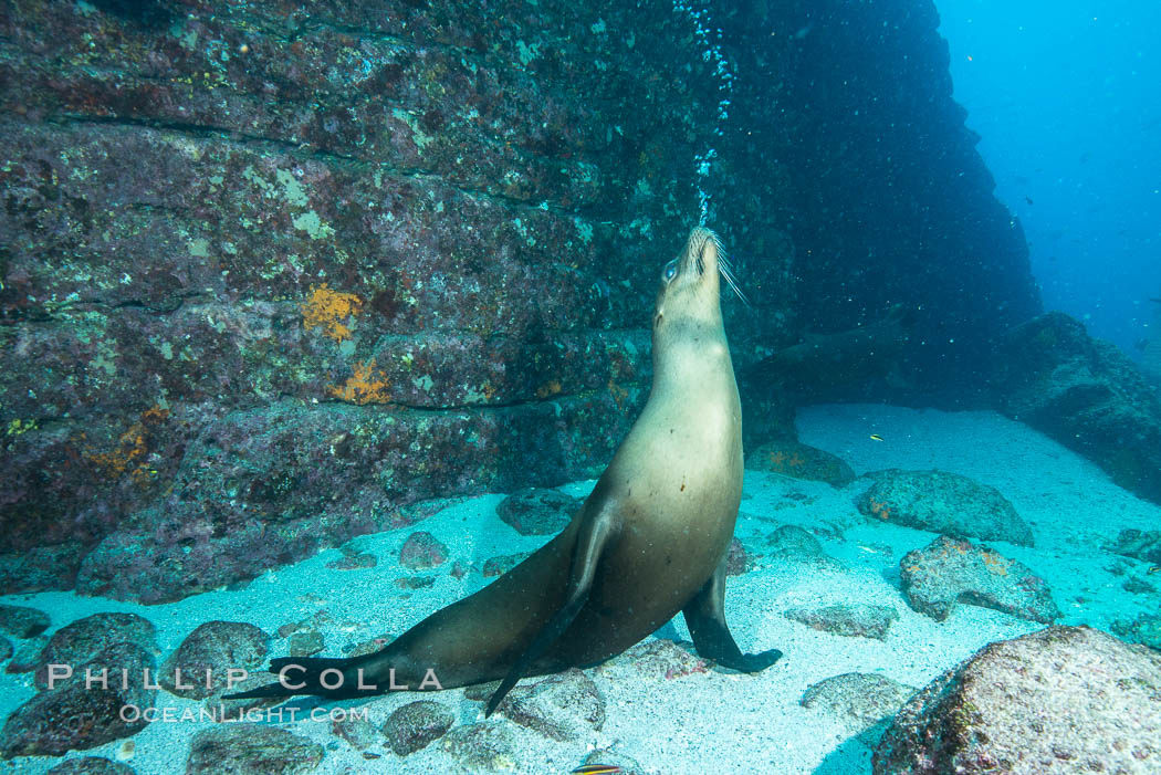 Sea lion blowing underwater bubbles as it stands on its flippers. Sea of Cortez, Baja California, Mexico, Zalophus californianus, natural history stock photograph, photo id 31240