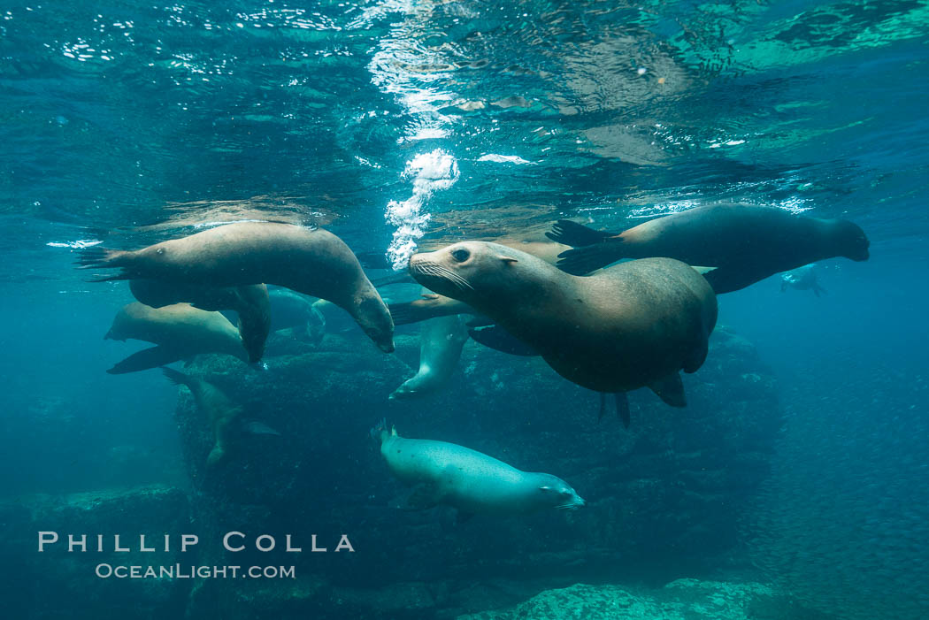 Sea lion harem of females, underwater. Sea of Cortez, Baja California, Mexico, Zalophus californianus, natural history stock photograph, photo id 31228