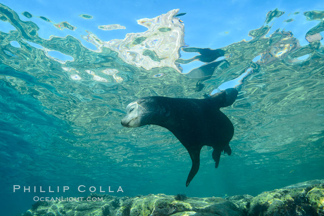 Sea Lion, Los Islotes, Sea of Cortez. Baja California, Mexico, natural history stock photograph, photo id 32492