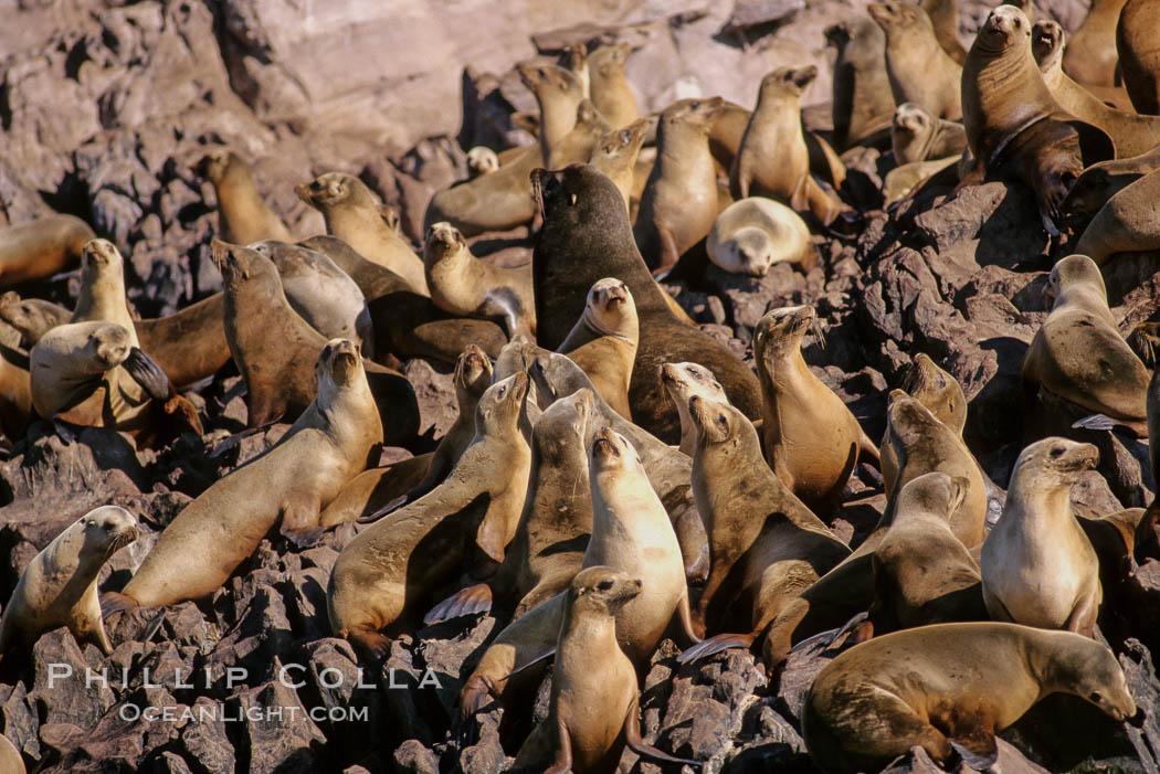 California sea lion colony, Los Coronado Islands. Coronado Islands (Islas Coronado), Coronado Islands, Baja California, Mexico, Zalophus californianus, natural history stock photograph, photo id 03077