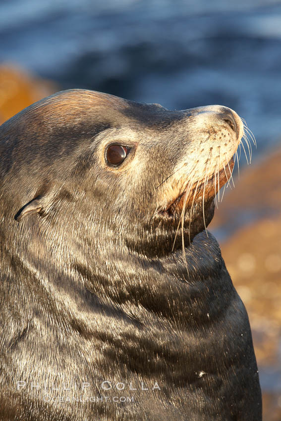 California sea lion, adult male, profile of head showing long whiskers and prominent sagittal crest (cranial crest bone), hauled out on rocks to rest, early morning sunrise light, Monterey breakwater rocks. Monterey, California, USA, Zalophus californianus, natural history stock photograph, photo id 21566