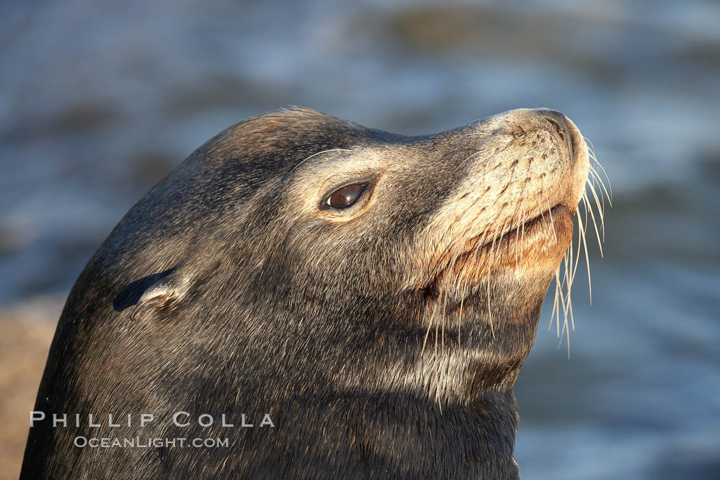 California sea lion, adult male, profile of head showing long whiskers and prominent sagittal crest (cranial crest bone), hauled out on rocks to rest, early morning sunrise light, Monterey breakwater rocks. USA, Zalophus californianus, natural history stock photograph, photo id 21572