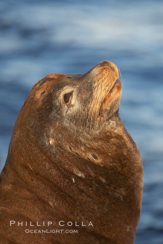California sea lion, adult male, profile of head showing long whiskers and prominent sagittal crest (cranial crest bone), hauled out on rocks to rest, early morning sunrise light, Monterey breakwater rocks. Monterey, California, USA, Zalophus californianus, natural history stock photograph, photo id 21585