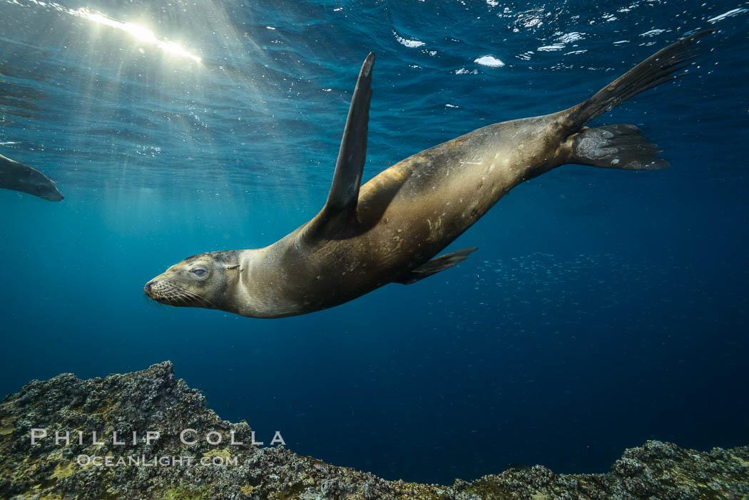 Sea lion underwater in beautiful sunset light. Sea of Cortez, Baja California, Mexico, Zalophus californianus, natural history stock photograph, photo id 31208