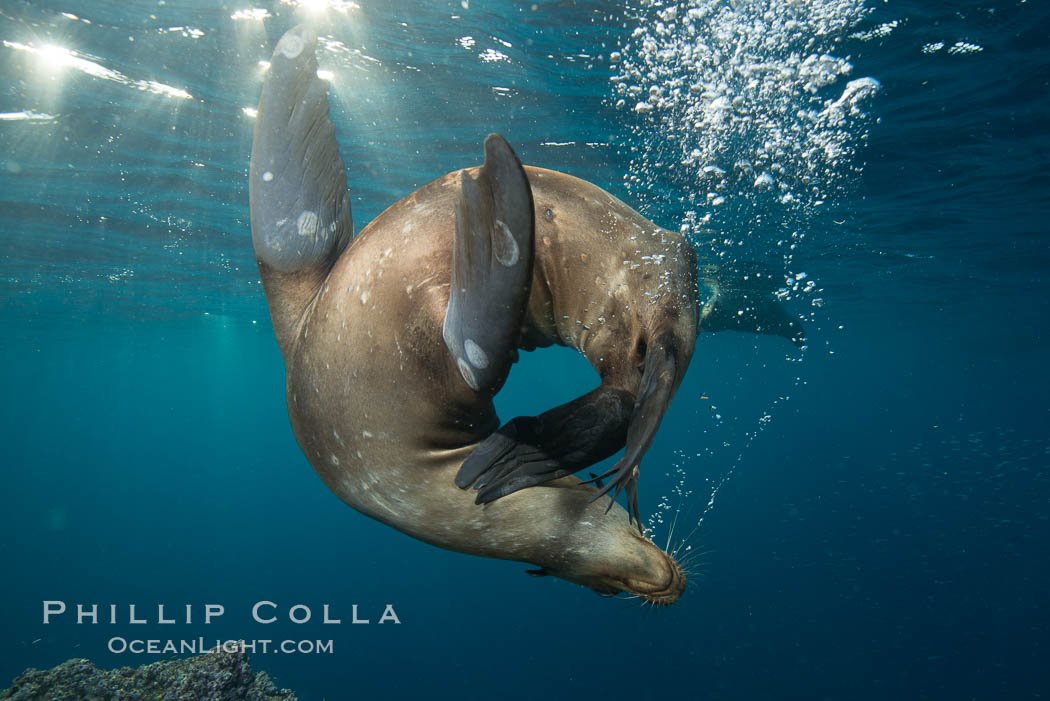 Sea lion underwater in beautiful sunset light. Sea of Cortez, Baja California, Mexico, Zalophus californianus, natural history stock photograph, photo id 31288