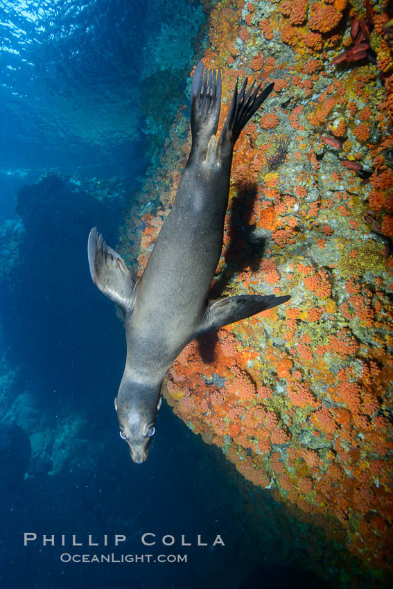Sea Lion Underwater, Los Islotes, Sea of Cortez. Baja California, Mexico, natural history stock photograph, photo id 32490