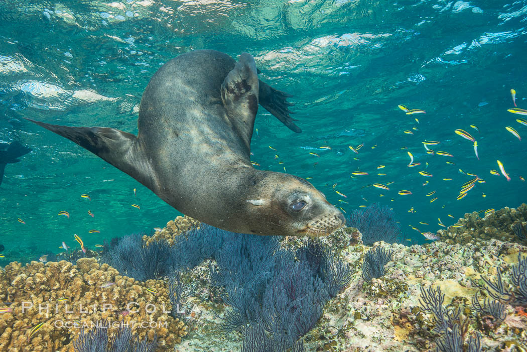 California sea lion underwater, Sea of Cortez, Mexico. Baja California, natural history stock photograph, photo id 33794