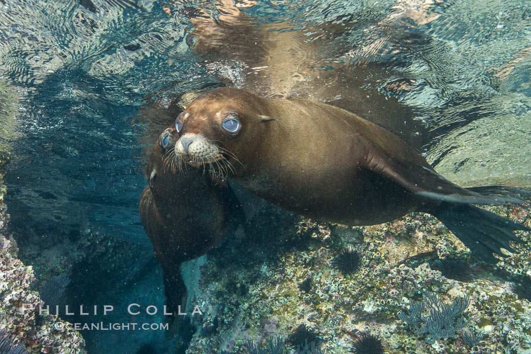 California sea lion underwater, Sea of Cortez, Mexico. Baja California, natural history stock photograph, photo id 33792