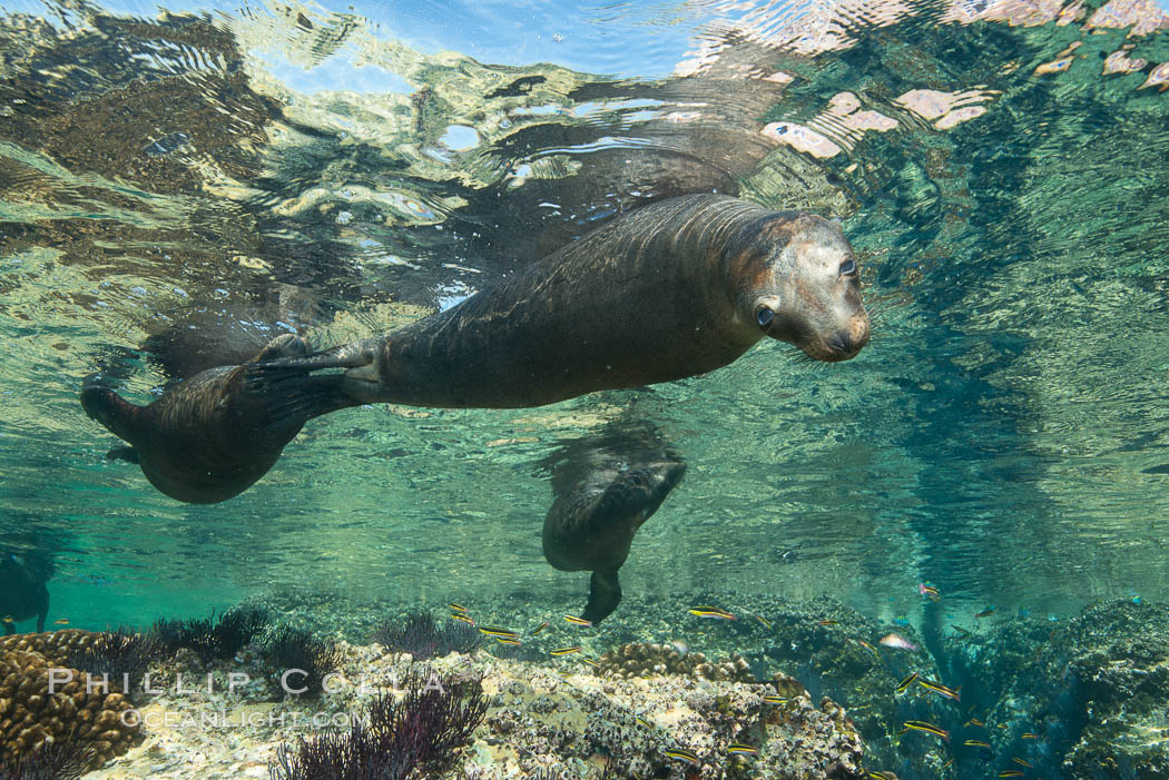 Sea Lions playing in shallow water, Los Islotes, Sea of Cortez. Baja California, Mexico, natural history stock photograph, photo id 32498