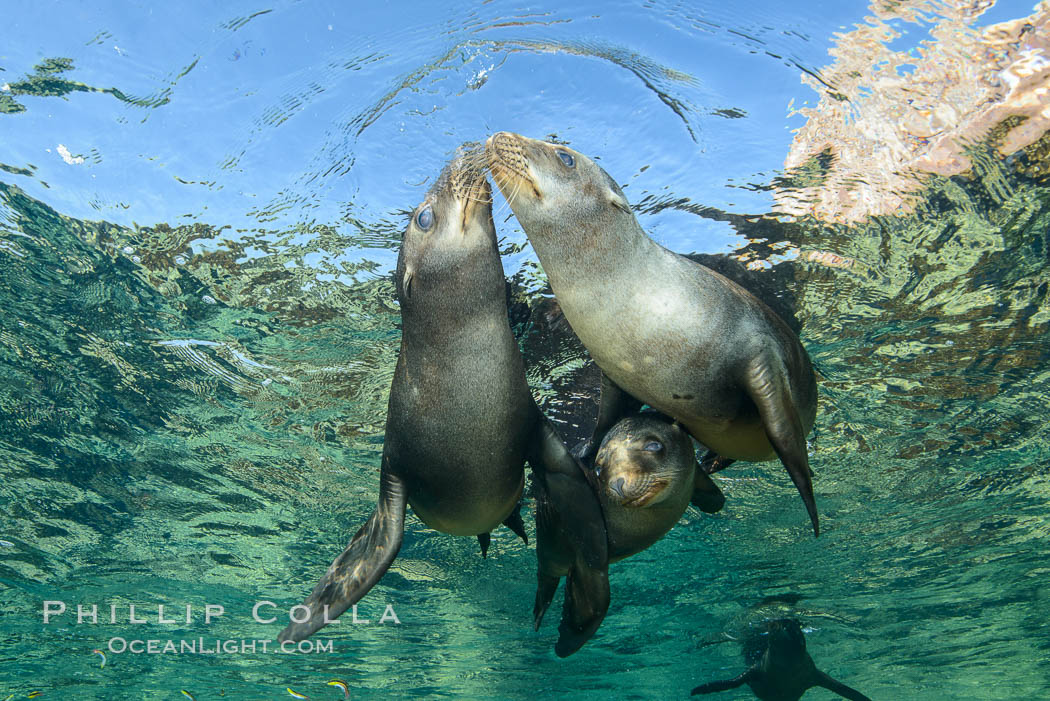Sea Lions playing in shallow water, Los Islotes, Sea of Cortez. Baja California, Mexico, natural history stock photograph, photo id 32506