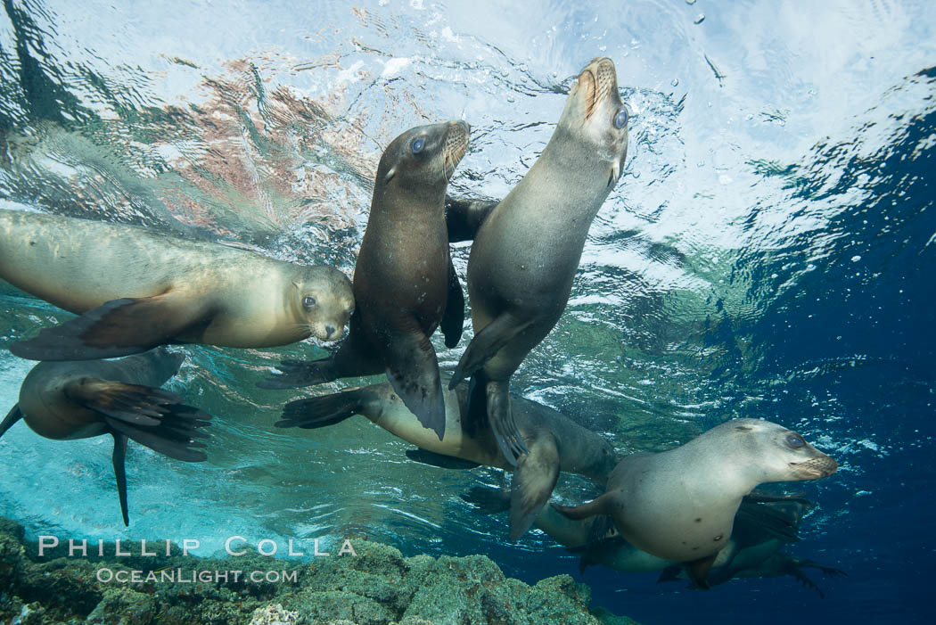 Sea Lions playing in shallow water, Los Islotes, Sea of Cortez. Baja California, Mexico, natural history stock photograph, photo id 32542