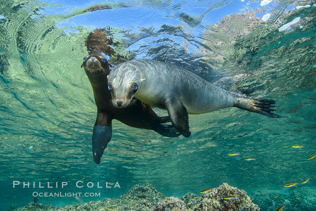 Sea Lions playing in shallow water, Los Islotes, Sea of Cortez. Baja California, Mexico, natural history stock photograph, photo id 32554
