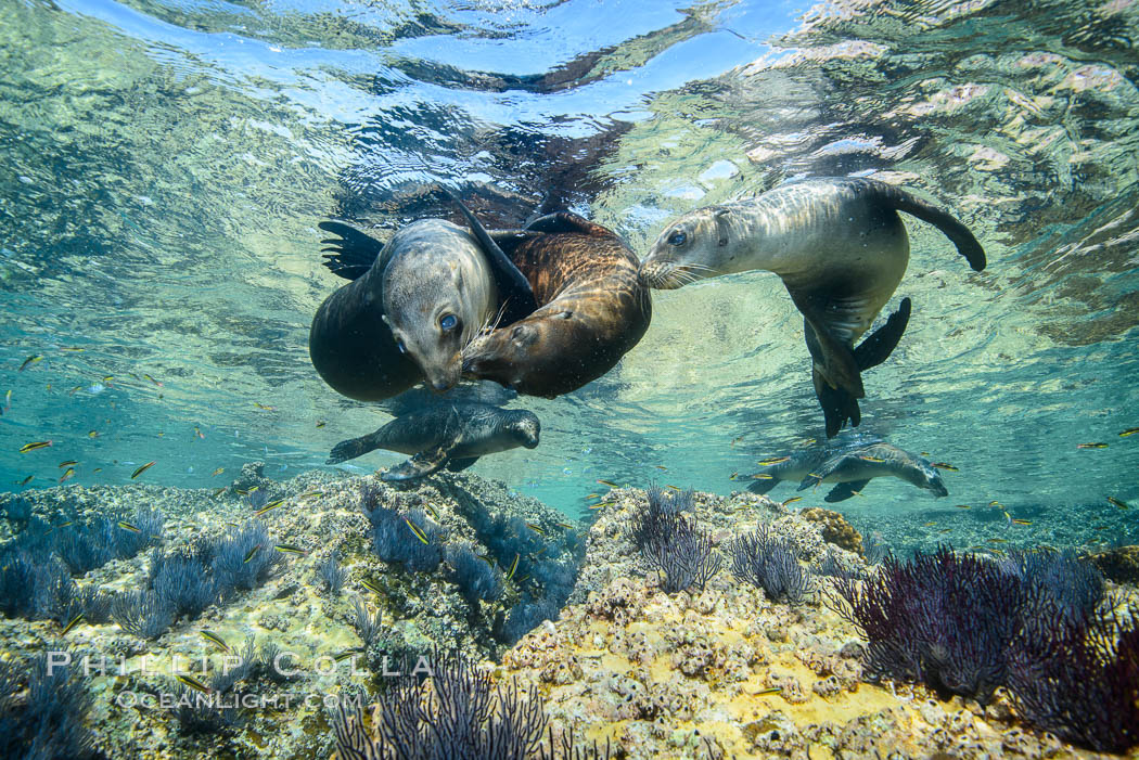 Sea Lions playing in shallow water, Los Islotes, Sea of Cortez. Baja California, Mexico, natural history stock photograph, photo id 32496
