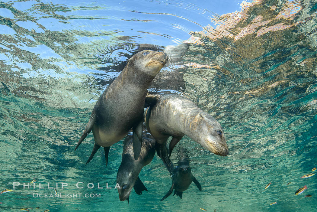 Sea Lions playing in shallow water, Los Islotes, Sea of Cortez. Baja California, Mexico, natural history stock photograph, photo id 32508