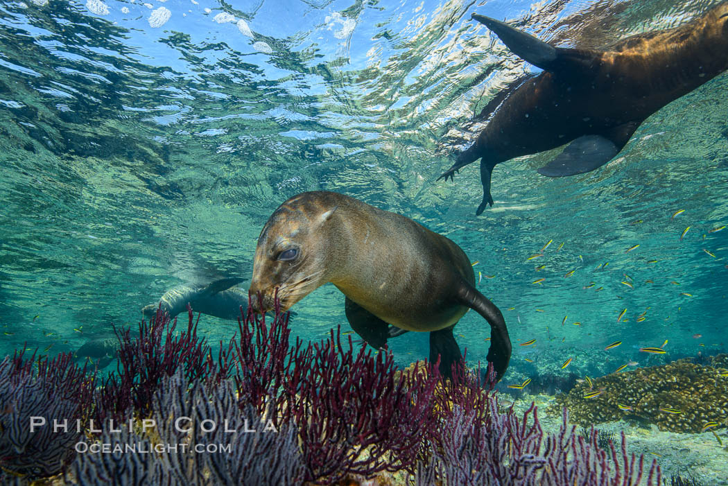 Sea Lions playing in shallow water, Los Islotes, Sea of Cortez. Baja California, Mexico, natural history stock photograph, photo id 32532
