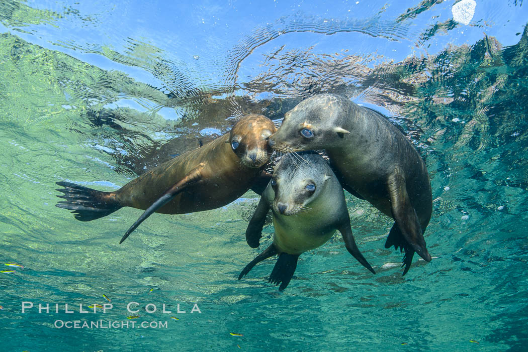 Sea Lions playing in shallow water, Los Islotes, Sea of Cortez. Baja California, Mexico, natural history stock photograph, photo id 32556