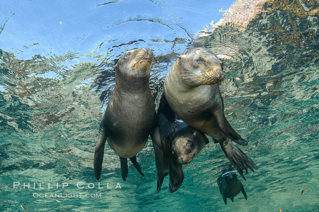 Sea Lions playing in shallow water, Los Islotes, Sea of Cortez. Baja California, Mexico, natural history stock photograph, photo id 32507