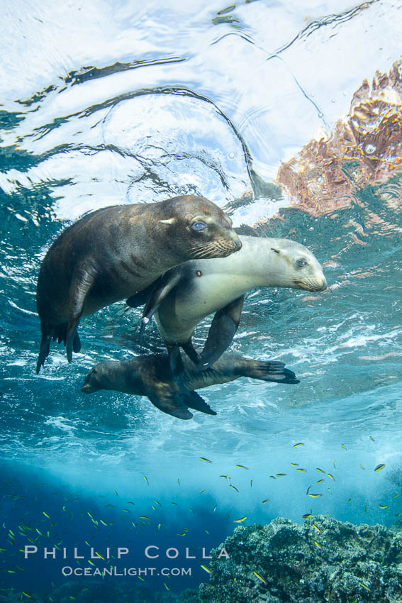 Sea Lions playing in shallow water, Los Islotes, Sea of Cortez. Baja California, Mexico, natural history stock photograph, photo id 32547