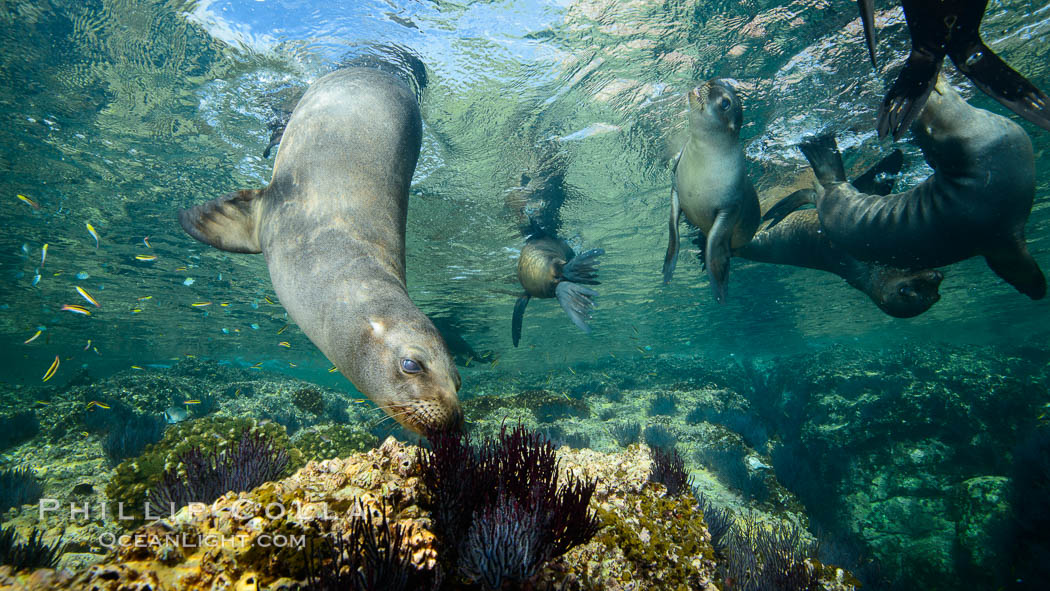 Sea Lions playing in shallow water, Los Islotes, Sea of Cortez. Baja California, Mexico, natural history stock photograph, photo id 32563
