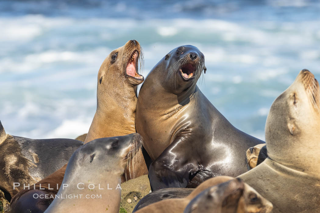 Sea Lions Socializing and Resting, La Jolla. California, USA, Zalophus californianus, natural history stock photograph, photo id 36822