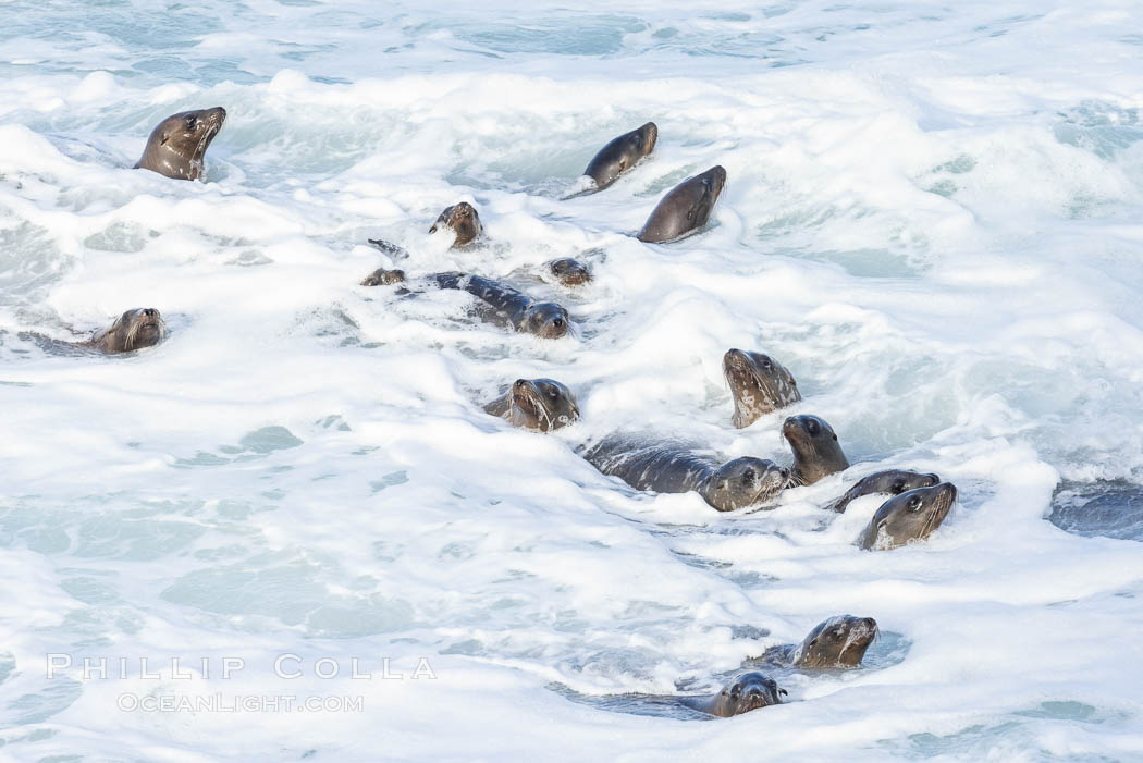Sea Lions in the Surf and Waves, La Jolla, Zalophus californianus