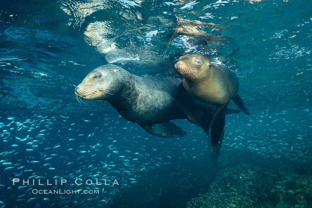 Sea lions underwater, adult male (left) and female (right). Sea of Cortez, Baja California, Mexico, Zalophus californianus, natural history stock photograph, photo id 31218