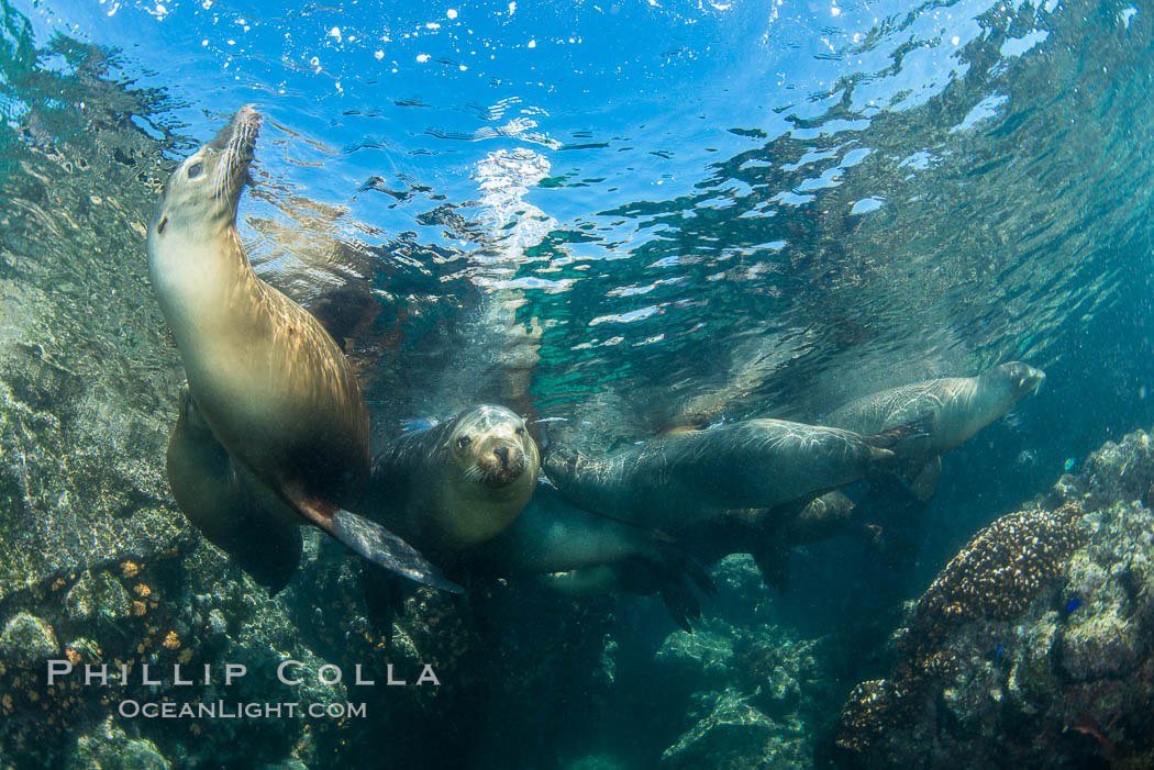 Sea Lions Underwater at Lobera San Rafaelito, Sea of Cortez. Lobera San Rafaelito, Baja California, Mexico, natural history stock photograph, photo id 33834