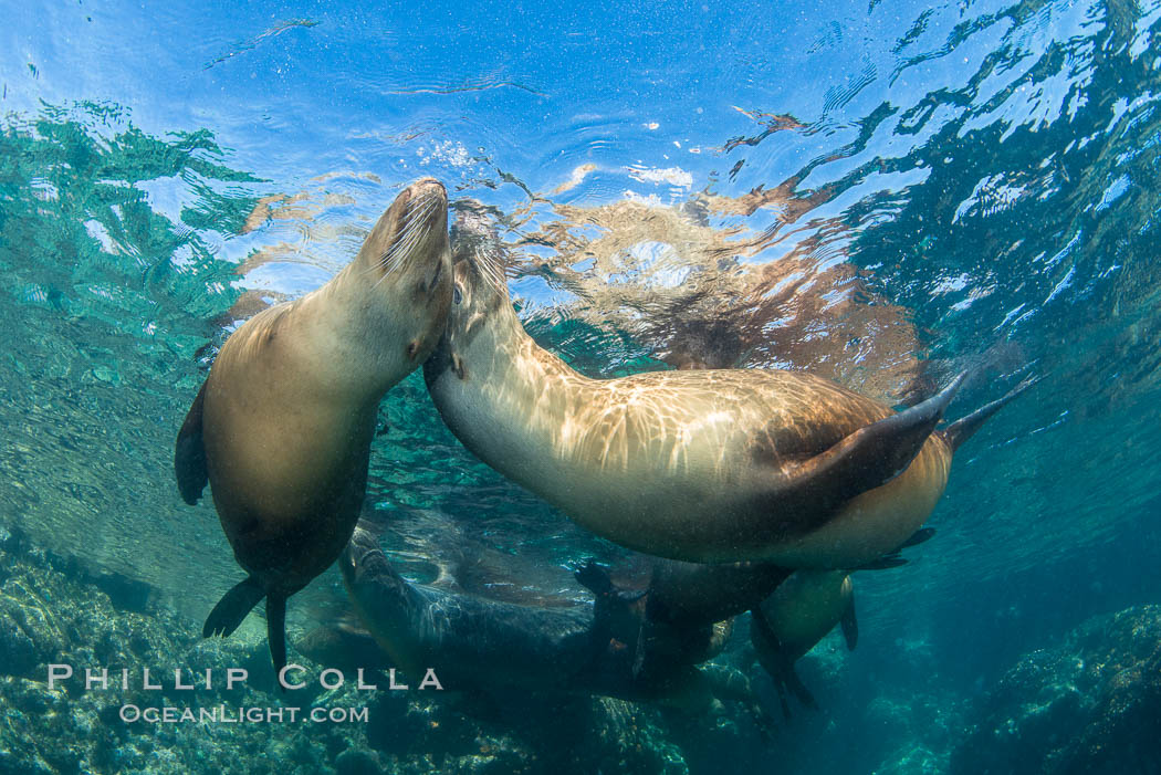 Sea Lions Underwater at Lobera San Rafaelito, Sea of Cortez. Lobera San Rafaelito, Baja California, Mexico, natural history stock photograph, photo id 33836