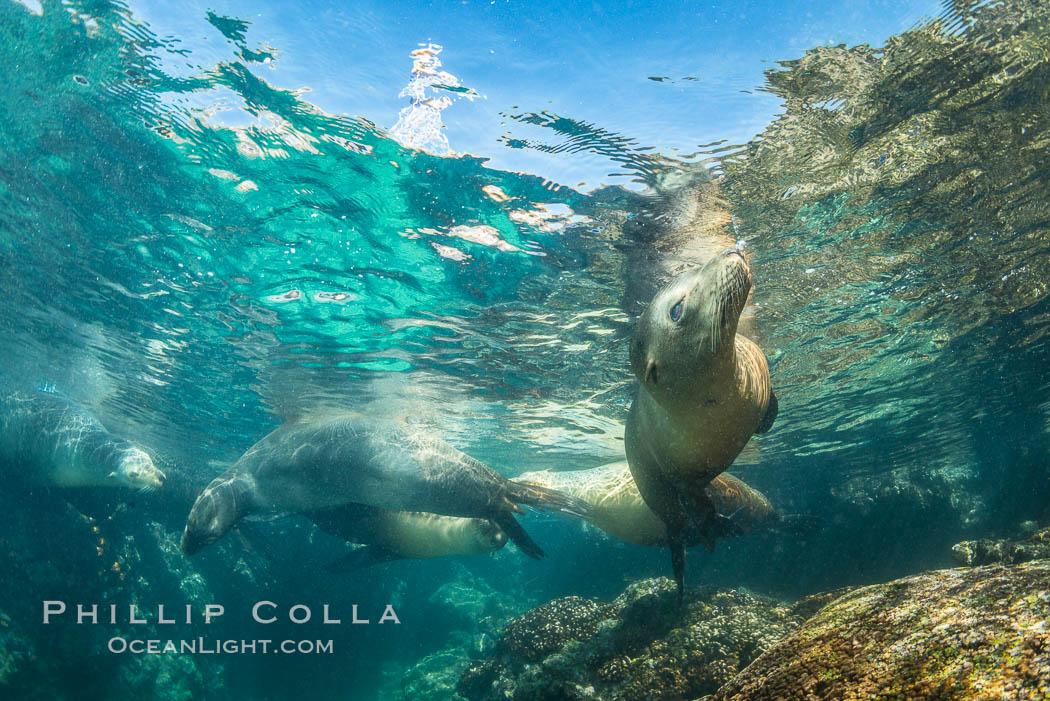 Sea Lions Underwater at Lobera San Rafaelito, Sea of Cortez. Lobera San Rafaelito, Baja California, Mexico, natural history stock photograph, photo id 33835