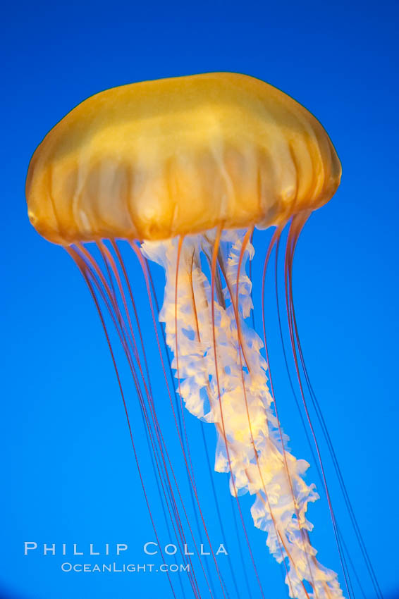 Sea nettles., Chrysaora fuscescens, natural history stock photograph, photo id 14084