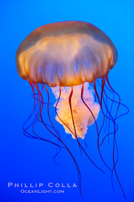 Sea nettles., Chrysaora fuscescens, natural history stock photograph, photo id 14928