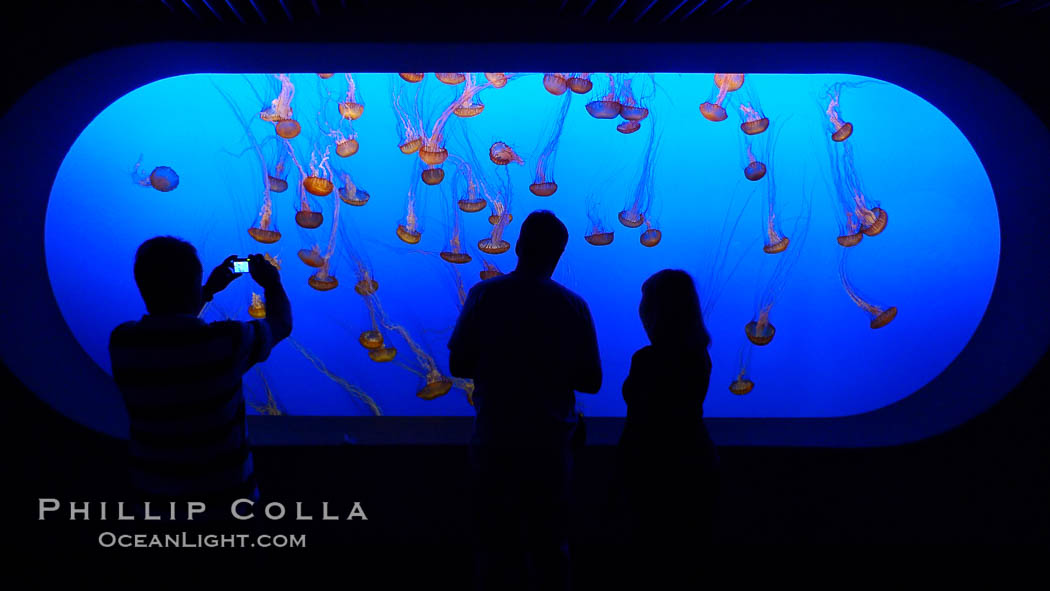 Visitors enjoy viewing sea nettle jellyfish at the Monterey Bay Aquarium. Monterey, California, USA, Chrysaora fuscescens, natural history stock photograph, photo id 21501