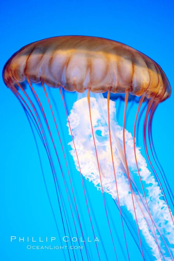 Sea nettle jellyfish., Chrysaora fuscescens, natural history stock photograph, photo id 21512