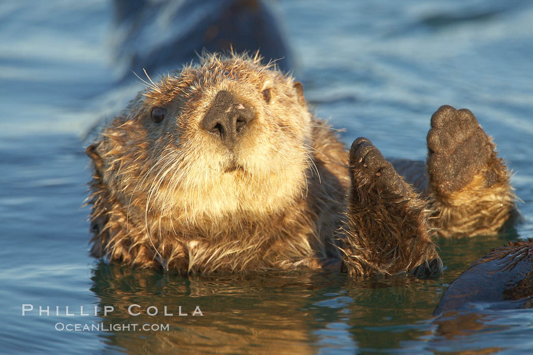 A sea otter resting, holding its paws out of the water to keep them warm and conserve body heat as it floats in cold ocean water. Elkhorn Slough National Estuarine Research Reserve, Moss Landing, California, USA, Enhydra lutris, natural history stock photograph, photo id 21614