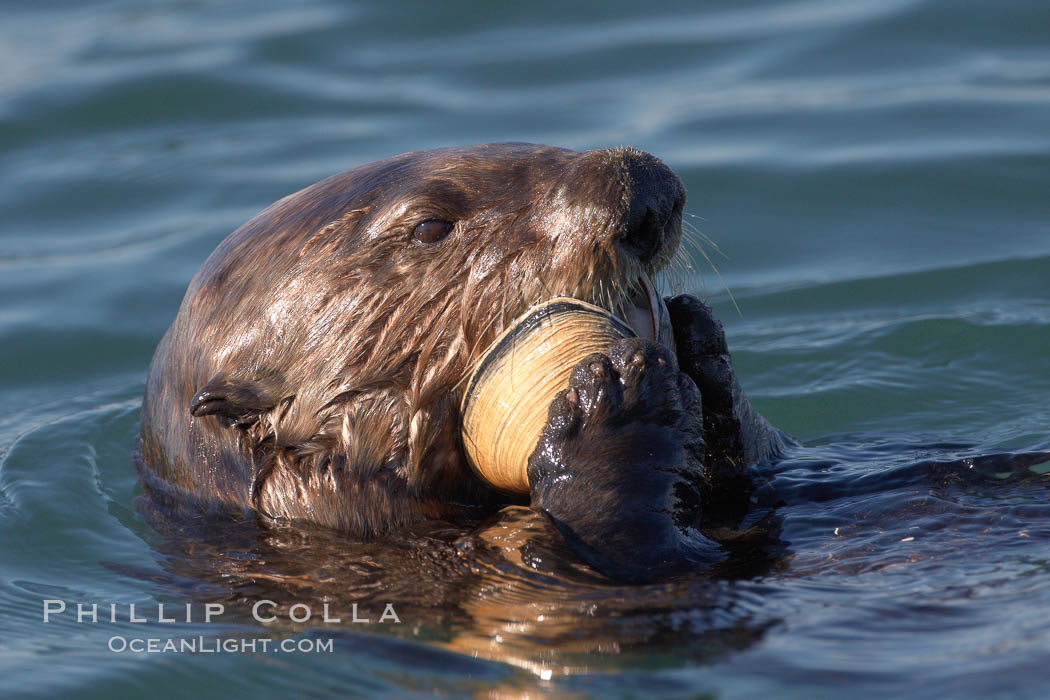 A sea otter eats a clam that it has taken from the shallow sandy bottom of Elkhorn Slough.  Because sea otters have such a high metabolic rate, they eat up to 30% of their body weight each day in the form of clams, mussels, urchins, crabs and abalone.  Sea otters are the only known tool-using marine mammal, using a stone or old shell to open the shells of their prey as they float on their backs. Elkhorn Slough National Estuarine Research Reserve, Moss Landing, California, USA, Enhydra lutris, natural history stock photograph, photo id 21622