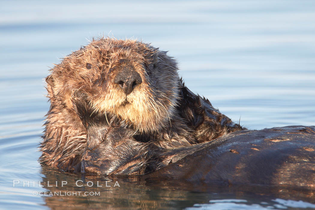 A sea otter, resting and floating on its back, in Elkhorn Slough. Elkhorn Slough National Estuarine Research Reserve, Moss Landing, California, USA, Enhydra lutris, natural history stock photograph, photo id 21626
