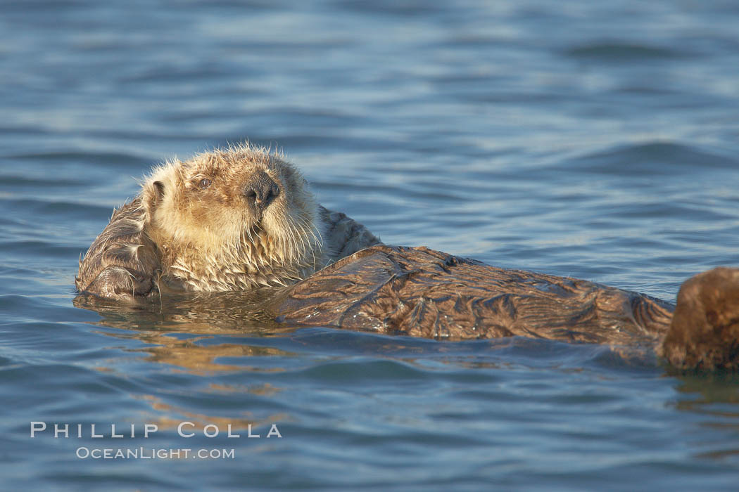 A sea otter, resting and floating on its back, in Elkhorn Slough. Elkhorn Slough National Estuarine Research Reserve, Moss Landing, California, USA, Enhydra lutris, natural history stock photograph, photo id 21620