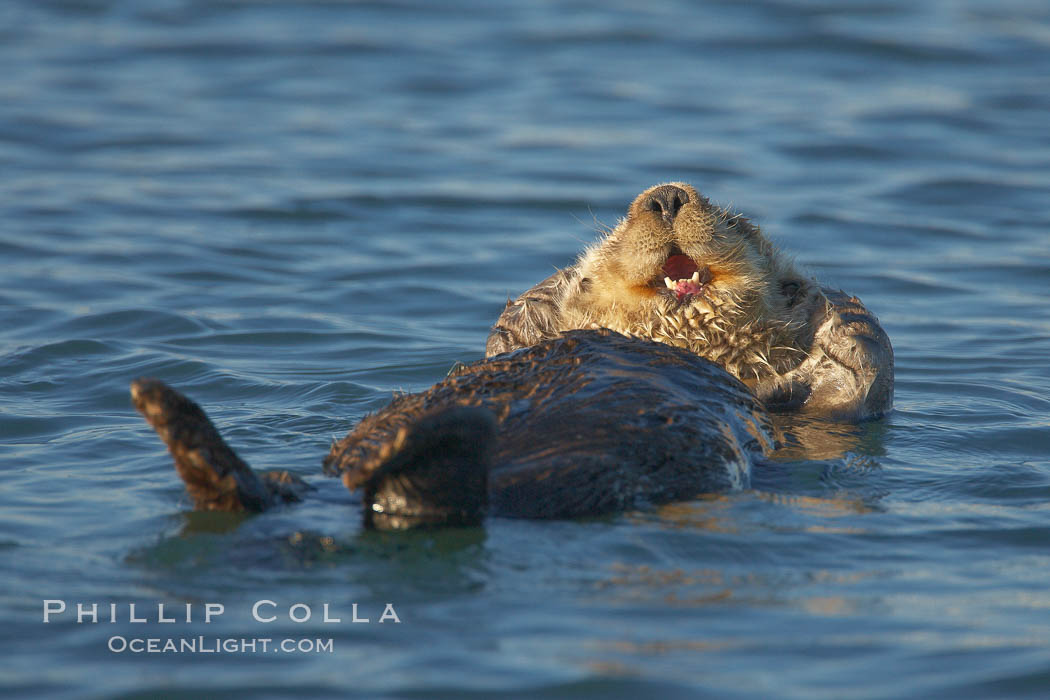 A sea otter, resting and floating on its back, in Elkhorn Slough. Elkhorn Slough National Estuarine Research Reserve, Moss Landing, California, USA, Enhydra lutris, natural history stock photograph, photo id 21615