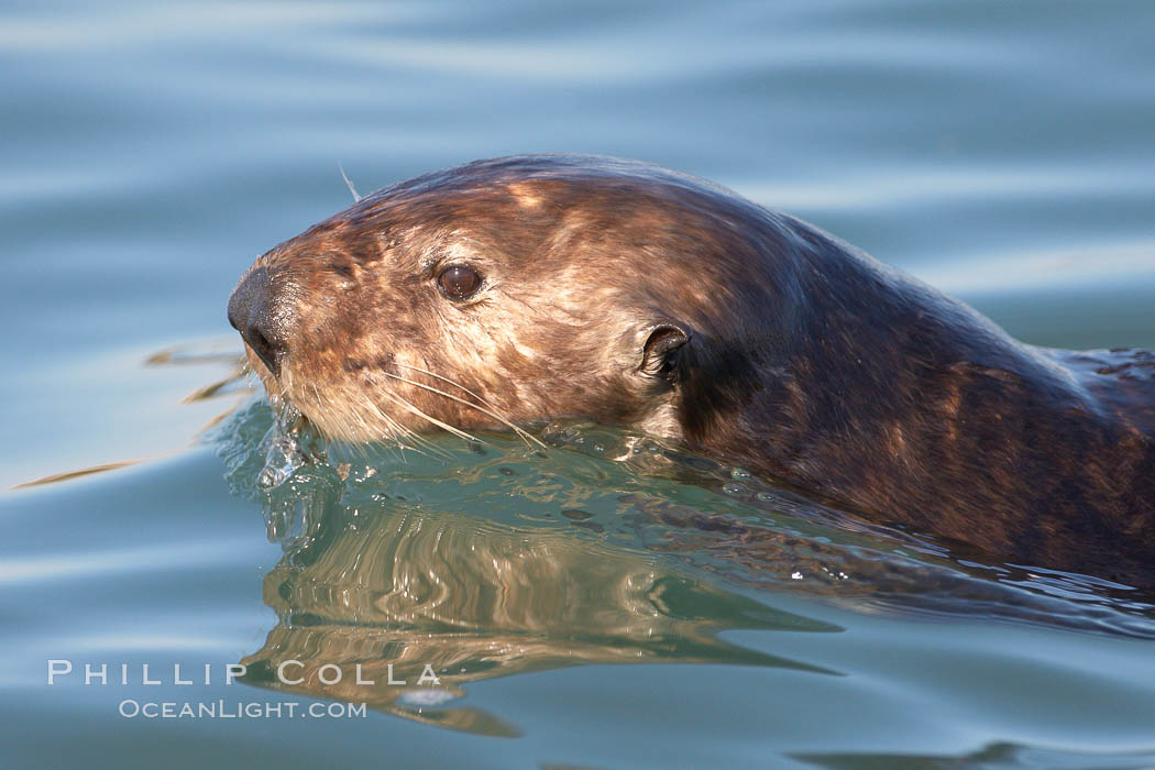 Sea otter, swimming at the ocean surface. Elkhorn Slough National Estuarine Research Reserve, Moss Landing, California, USA, Enhydra lutris, natural history stock photograph, photo id 21623