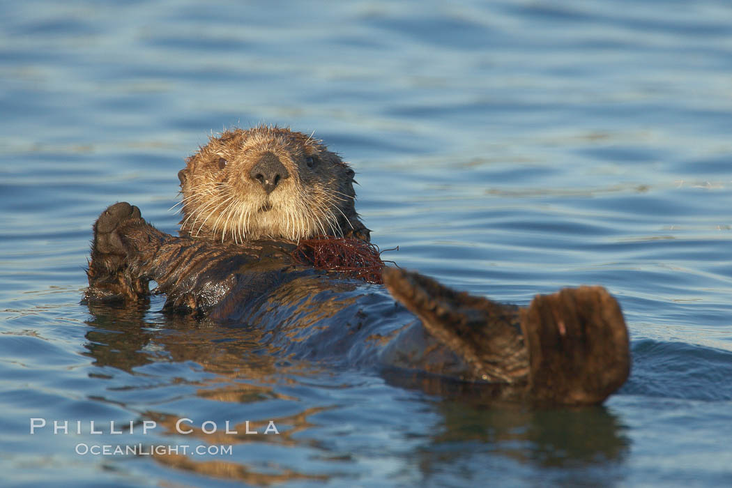 A sea otter resting, holding its paws out of the water to keep them warm and conserve body heat as it floats in cold ocean water. Elkhorn Slough National Estuarine Research Reserve, Moss Landing, California, USA, Enhydra lutris, natural history stock photograph, photo id 21675
