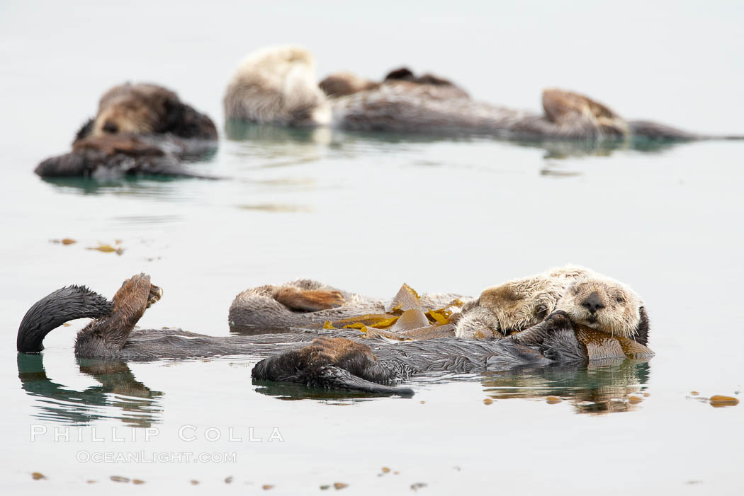Five sea otters float on their backs on the ocean surface.  Each will wrap itself in kelp (seaweed) to keep from drifting as it rests and floats. Morro Bay, California, USA, Enhydra lutris, natural history stock photograph, photo id 20435