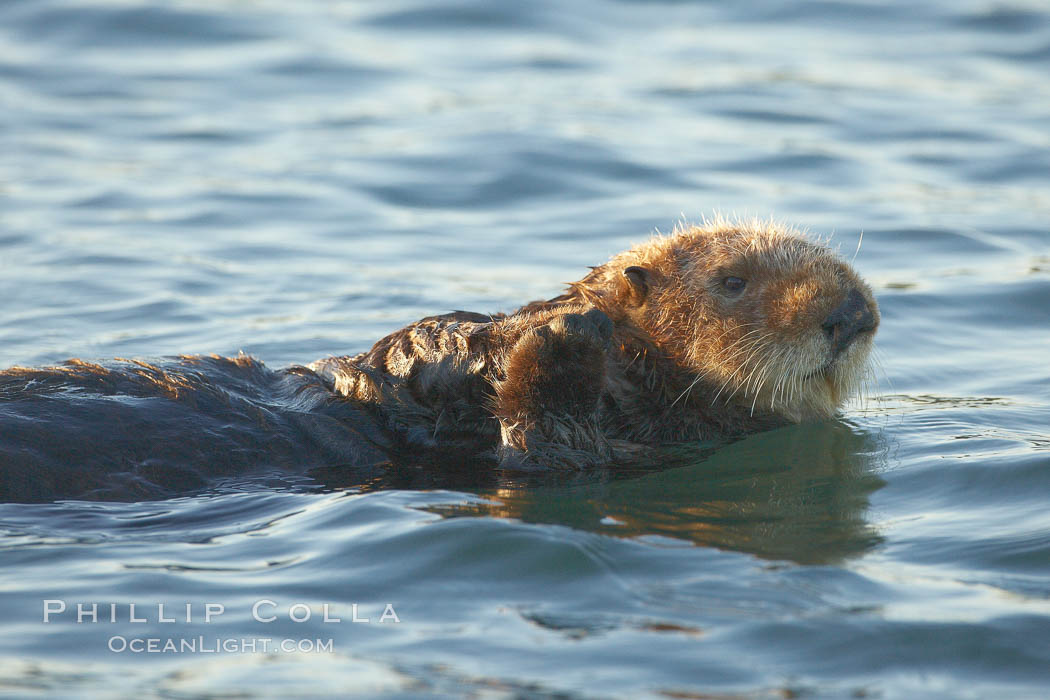 A sea otter, resting and floating on its back, in Elkhorn Slough. Elkhorn Slough National Estuarine Research Reserve, Moss Landing, California, USA, Enhydra lutris, natural history stock photograph, photo id 21687